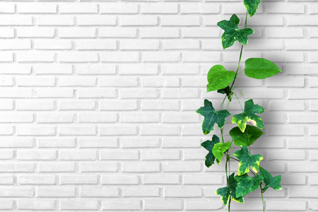 Climber plant with white brick wall background