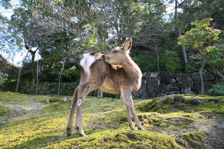 asia deer: a wild Japanese shika deer in miayajima japan