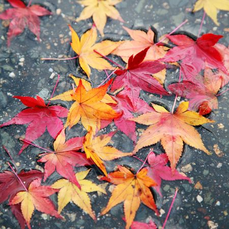 fallen japanese maple leaves on a wet road surface showing the bright colors of the fall season photo