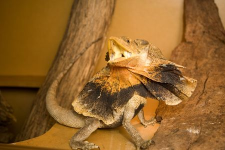 a frill: frill neck lizard in a defensive pose, slightly motion blured due to lizards fast movement Stock Photo