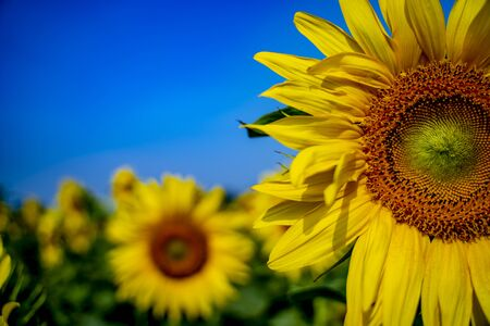 Portrait of a sunflower in the field....