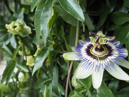 Close up shot of purple passionflower