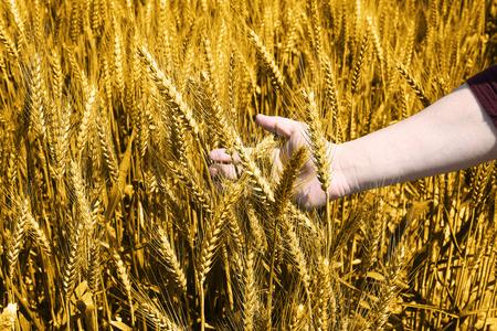 Portrait of man hand is holding golden wheat fields.