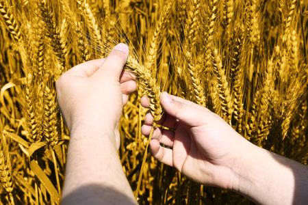 Photo of wheat fields holding in hand for baisakhi festival.