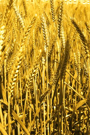 Portrait of wheat fields for punjabi culture.