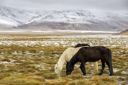 Horse Grazing during snow - Ladakh India