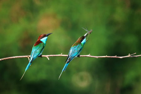 animal mating: Both Blue-throated Bee-eater eatting on leaf of tree in morning Stock Photo