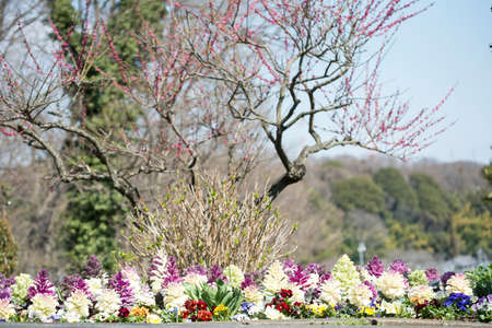 Plum blossoms and flower beds