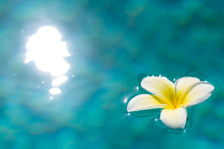 White Plumeria Flowers floating in a blue pool