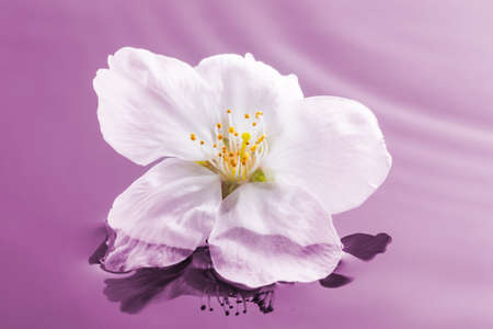 Image of cherry blossoms floating on the surface of the water (pink background)