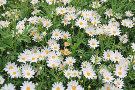 Many chamomile flowers on wide field under midday sun photo