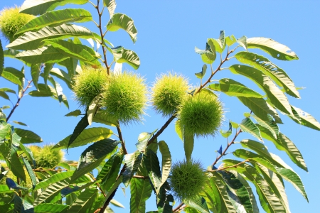 chestnut tree photo