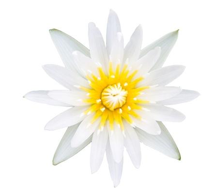 nelumbinis: white lotus flower isolated on white