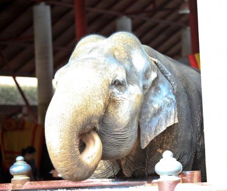 head close up: Asian elephant head close up Stock Photo
