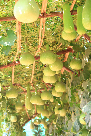 Winter melon hang in the hanging garden photo