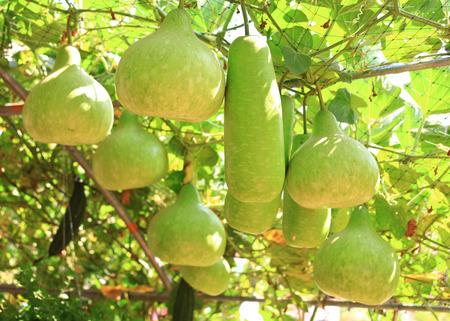 Winter melon hang in the hanging garden Stock Photo