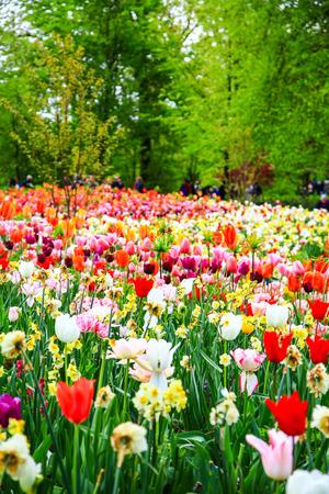 keukenhof: Tulip field, red and yellow, Keukenhof flower garden, Netherlands, Holland