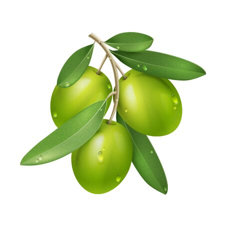Vector Realistic Green Olive Branch Isolated on White Background with Leaves, Water Drops