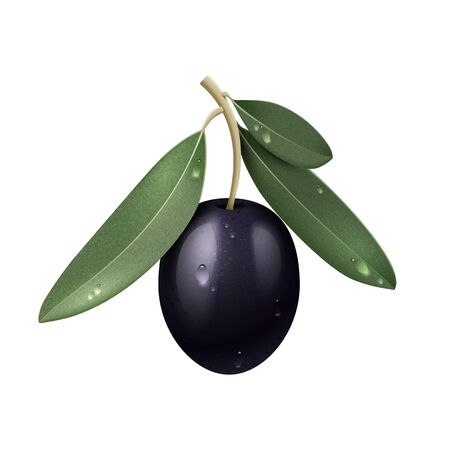 Vector Realistic Black Olive Branch with Green Leaves and Water Drops Isolated Ilustracja