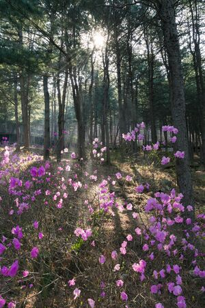 Rhododendron flowers with morning sunlight in the forest Stock Photo