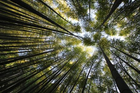 look up from the bamboo grove. Damyang, South Korea Stock fotó