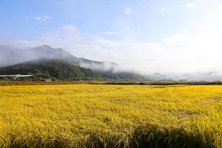 View of golden rice fields in the autumn mountain village, South Korea
