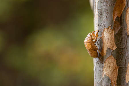 Insect molting cicada on a tree in nature