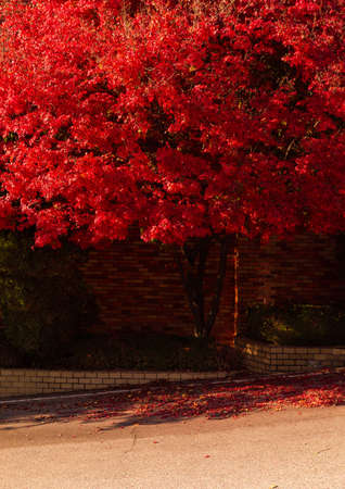 Beautiful autumn scenery in Korea. Building wall and red maple tree
