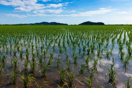 Rural rice field landscape on a summer day. Ganghwa-gun, Incheon, South Korea Stock Photo