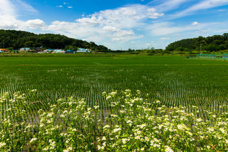 Rural rice fields and flowers landscape on a summer day. Ganghwa-gun, Incheon, South Korea