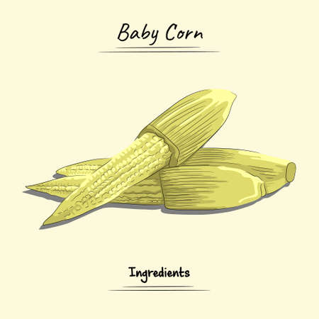 Illustration sketch and vector style of baby corn. Good to use for restaurant menu, Food recipe book and food ingredients content.