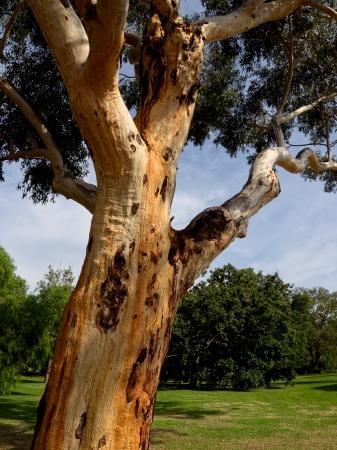 Classic mature Australian gum tree Stock Photo - 19180991