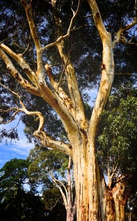 Classic mature Australian gum tree in a Melbourne garden