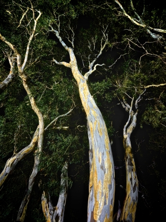 A weird spooky creepy photo of gum trees at night Stock Photo - 19802068