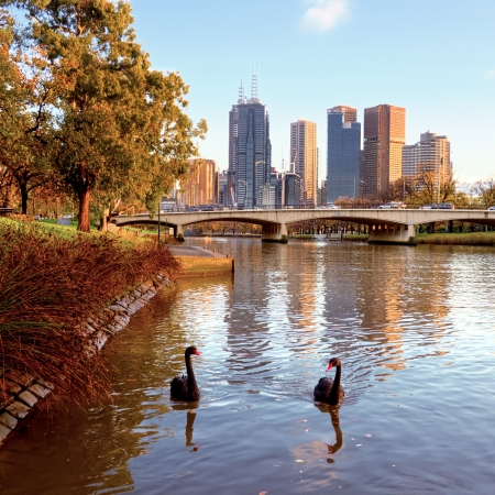 Swans swimming in the Yarra river in Melborune Stock Photo