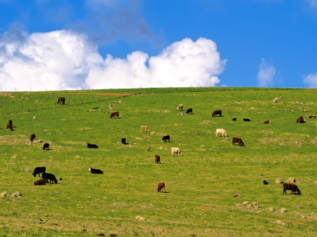 australian beef cow: Lots of cattle grazing on a green hillside in Australia Stock Photo