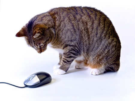 tabby cat hovering over a computer mouse on a white background photo