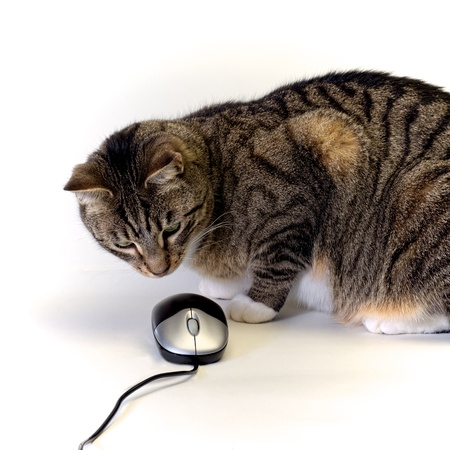 tabby cat looking intensely at a computer mouse on white background photo