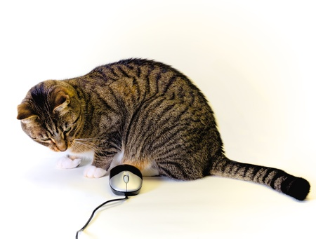 tabby cat playing with a computer mouse on a white background photo