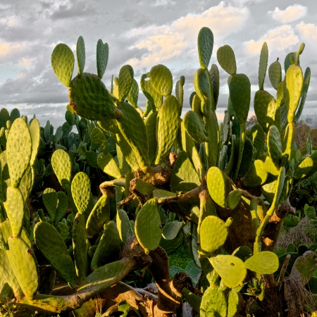 invading: prickly pear cactus invading farmland in australia