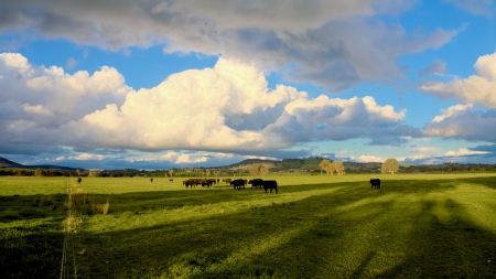 beef cattle: cattle relaxing on farmaland in victoria australia