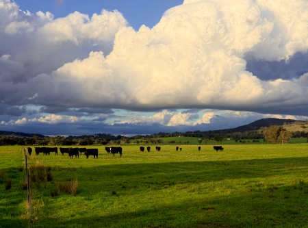 cattle on a farm in Victoria Australia ready to get rained on Stock Photo