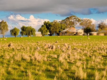 australia farm: some very nervous sheep on a farm in Victoria Australia