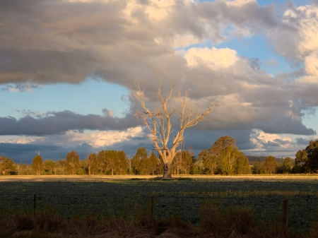 lonely dead tree in the middle of an aussie paddock Stock Photo