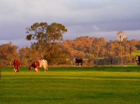 australia farm: cattle grazing with a windmill in background Stock Photo