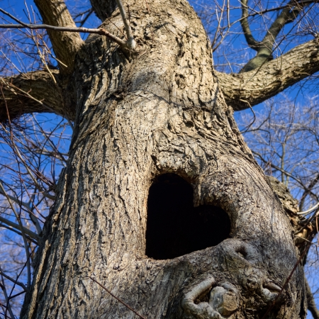 a gnarled old tree trunk showing a heart shaped hollow photo