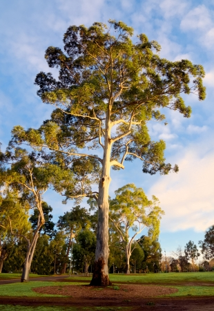 gum tree and cloudy blue sky in melbourne Stock Photo
