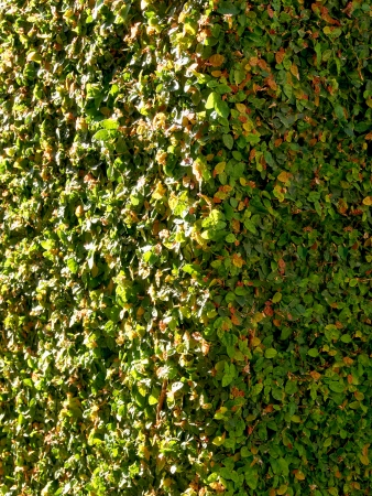 brick wall heavily covered with ivy plant photo