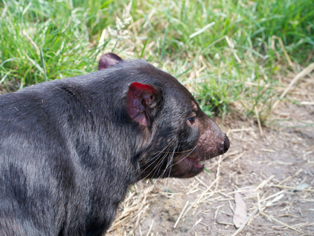 tasmanian devil in tasmania australia waiting for a feed photo