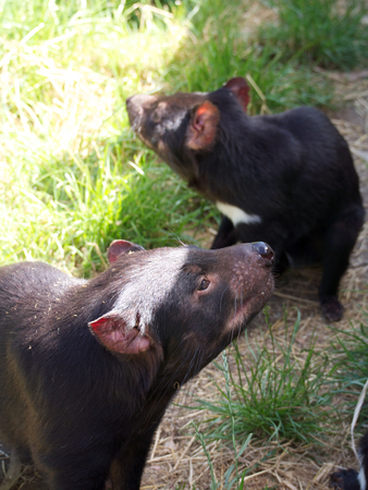 tasmanian devil in tasmania australia photo